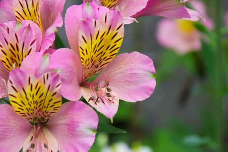 alstroemeria: Pink Alstroemeria