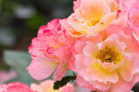 pale color: Pale color of roses mix of pink and orange Stock Photo