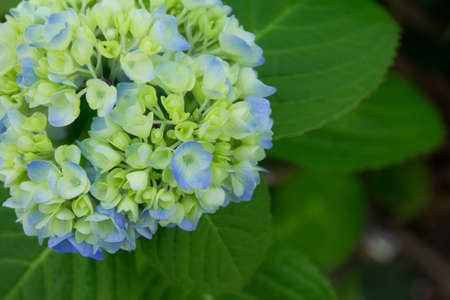 to have: Hydrangea which have begun to turn red and yellow