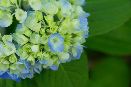 begun: Hydrangea which have begun to turn red and yellow