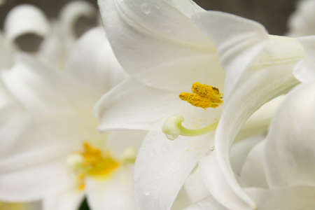 full bloom: White lily of full bloom