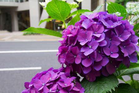 street corner: Hydrangea of street corner