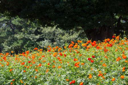 Hama Rikyu Gardens Cosmos Sulphureus Stock Photo, Picture And ...