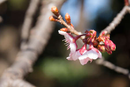 The cherry tree which began to bloom