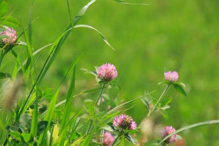 Trifolium pratense Stock Photo
