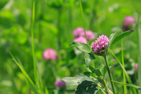 trifolium: Trifolium pratense Stock Photo