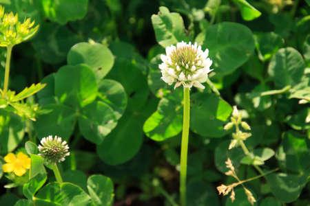 repens: Trifolium repens