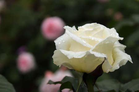 バラの花と雨の滴