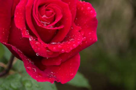 Rose flowers and rain drops
