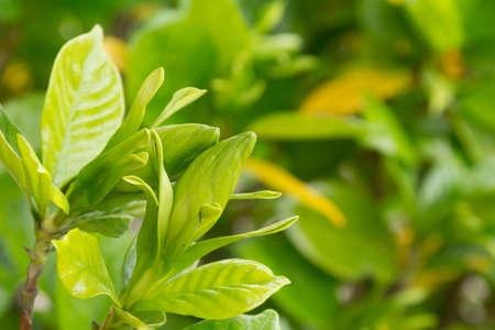 Bud of gardenia Stock Photo