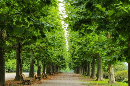 Pappel ein Baum Standard-Bild - 83777247