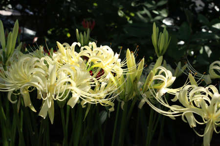 radiata: White Lycoris radiata close up