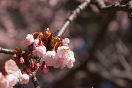 Pale pink cold cherry blossoms started to bloom