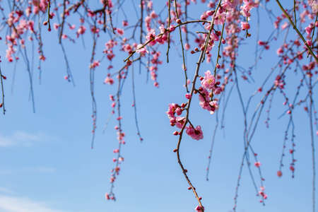 The weeping plum blossoms in full bloom shining in the blue sky