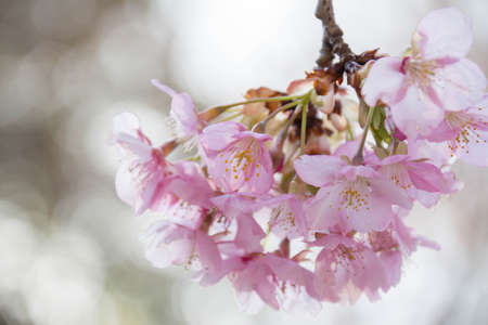 Close-up of cherry blossoms in full bloom Stock Photo