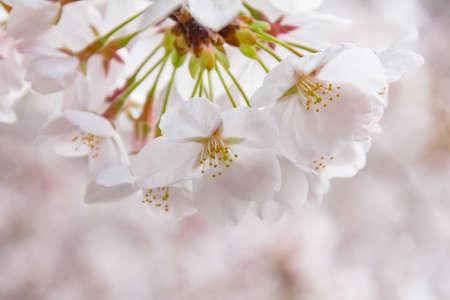 Spring cherry blossoms blooming along the Kanda River Фото со стока