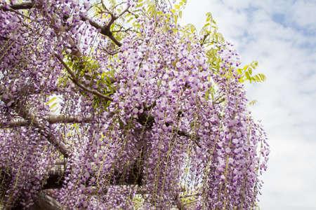 Wistera flower purse in wisteria trees 写真素材