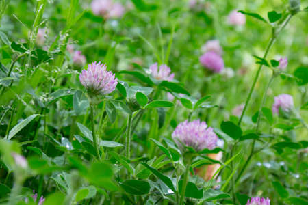 Trifolium pratense after the rain