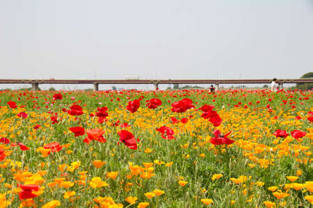 Poppy flowers in the popping field that reached its height Фото со стока