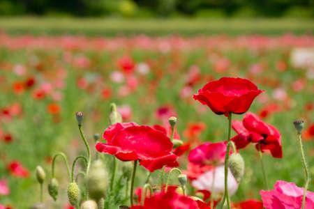 Close-up of red poppy of poppy field Фото со стока