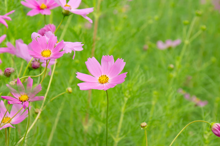 Pink cosmos flowers that bloom in autumn