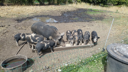 Mother Pig and Piglets Feeding on a Farm
