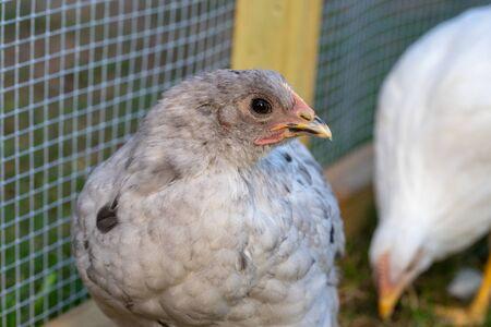 pullet chicken in backyard coop