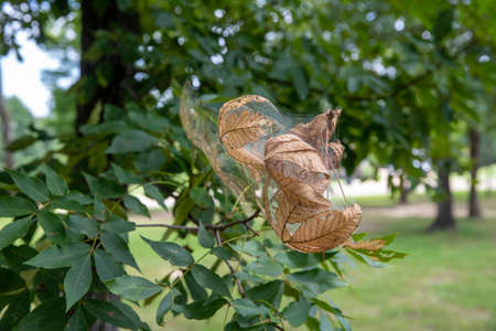 Nest spun by fall webworms in a tree, with webbing, leaves, and caterpillars