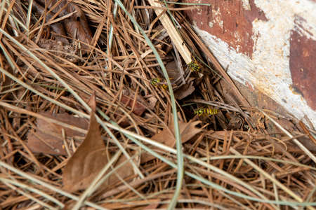 Wasp near the hole to their nest below the surface of the ground.