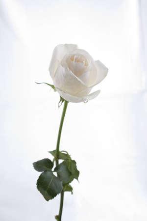 Long Stem White Rose Stock Photo - 2572029