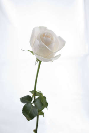 Long Stem White Rose