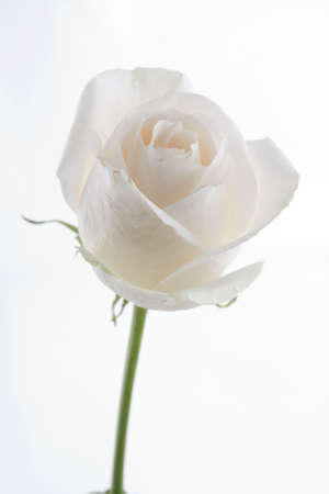 rosa: White rose with stem Stock Photo
