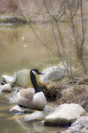 Mother goose sitting on nest photo