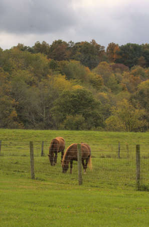 Pair of horses eating grass behind a barb wire fence with autumn trees in background