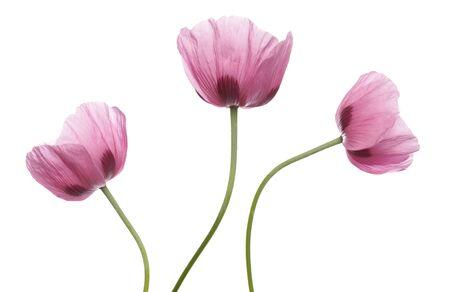ピンク紫ポピー スタジオ カットアウト 写真素材 - 7945448