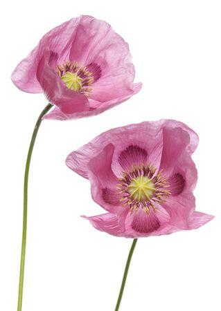 ピンク紫ポピー スタジオ カットアウト 写真素材 - 8012839