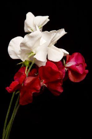 赤と白の甘いエンドウ豆のスタジオ カットアウト