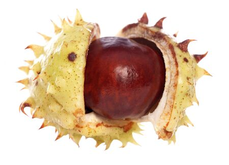 conker: horse-chestnut conker isolated studio cutout
