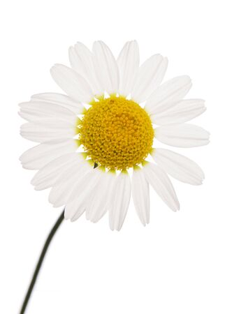 daisies: oxeye Daisy flower studio cutout Stock Photo