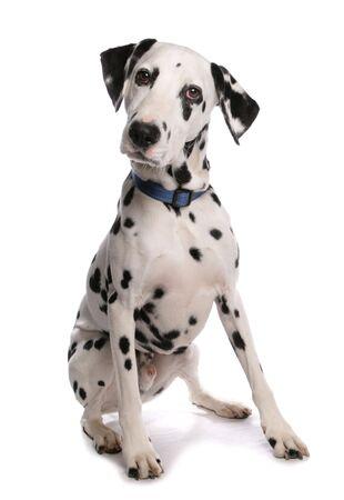 dalmatier: Dalmatische DogSittingStudio Stockfoto