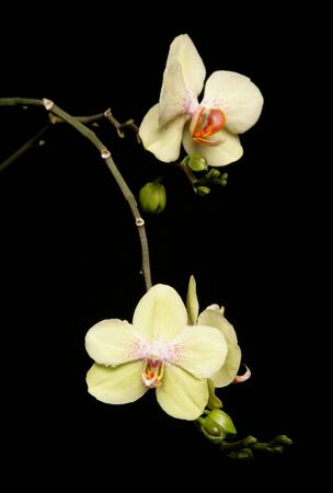 yellow orchid in a studio with black background