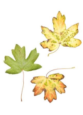 Autumn maple leaves isolated in studio photo