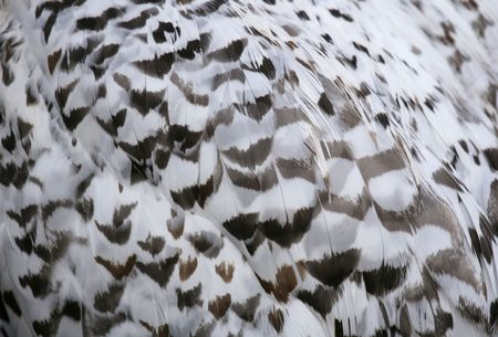 Snowy owl feathers background texture