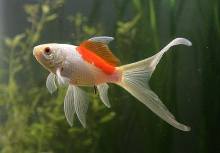 saras comet goldfish Stock Photo - 8072780