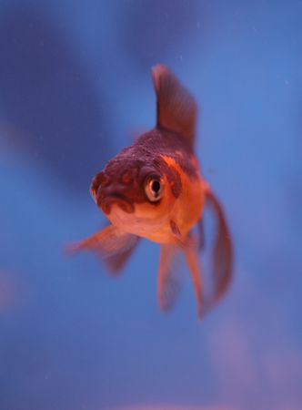 coldwater: fantail goldfish