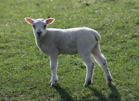 Young Lamb in a field photo
