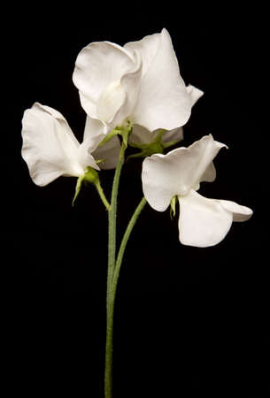 sweet pea: Bunch of White Sweet Peas studio cutout Stock Photo