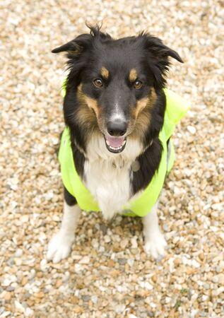 こんにちは vi にジャケットを着てビーチ ボーダーコリー