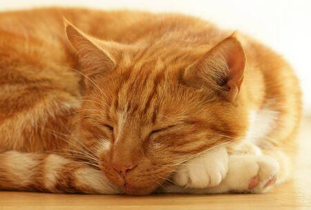 lindo gato jengibre, durmiendo en el interior