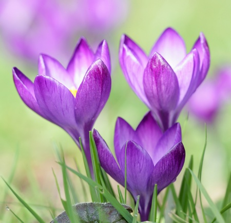 crocus: Purple Crocus flower plant macro